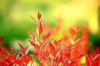 红叶植物背景