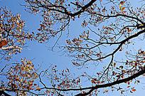 蓝天下的树枝