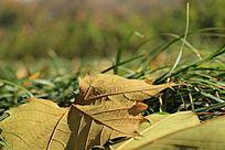 落叶草坪背景
