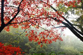 秋天红枫树枝叶细节图