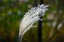 阳光下的芦苇草