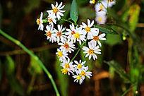 一簇小野菊
