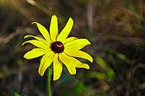 绽放的黄色小野菊花