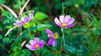 紫色的小雏菊