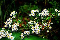 山涧的小野菊