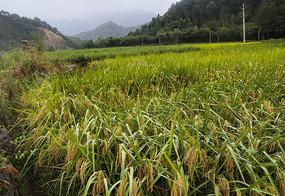 烟雨乡村稻田