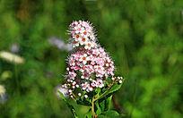 野生花卉绣线菊