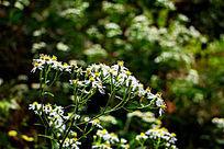 一丛野菊花