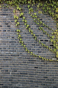 长爬墙虎的青砖墙背景