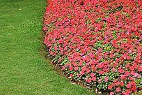 非洲凤仙花园