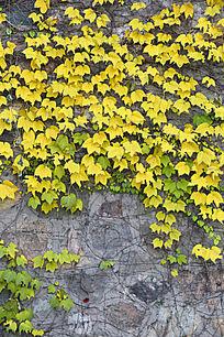 青黄藤叶的青砖墙