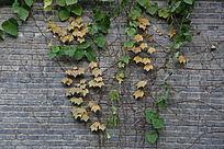 青砖墙黄藤叶背景
