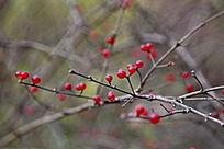小红豆树枝