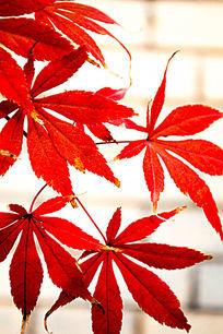 大红色枫叶