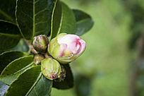 粉色茶花的花苞