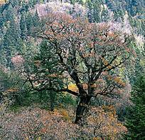 黑水秋天的彩林