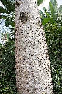 木棉树的树干