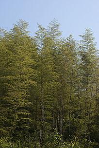 竹林树林背景