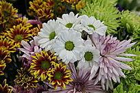 白菊花和金菊花花丛