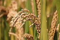 金黄色的稻穗