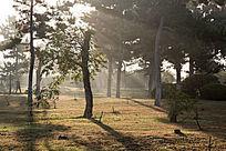 清晨的阳光透过松树林