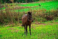 田里吃草的马儿