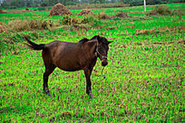 田里的马儿