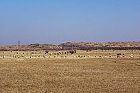 锡林郭勒牧场羊群