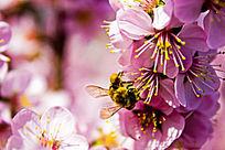 蜜蜂采蜜和桃花