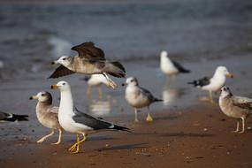 大海边各种神态的海鸥