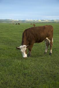 一只正在吃草的牛