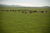 草原上成群的牛