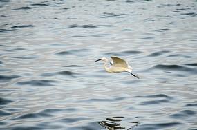 飞翔中的白鹭