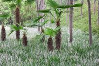 公园里的棕榈树