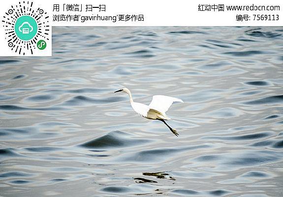 海上飞翔中的白鹭