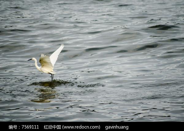 一只白鹭图片