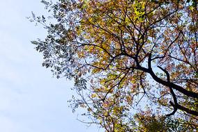 蓝天中枯黄的树叶和黑色树干