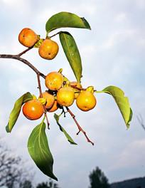 丰收的柿子树果实