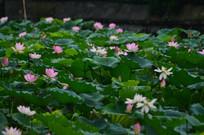 荷花池风景图片