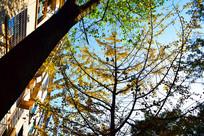 蓝色天空和银杏树丛黑色树干