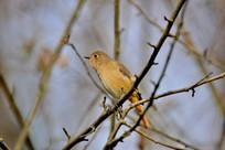 树枝叉上的小鸟