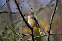树枝中的 小鸟