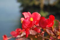 西湖小红花