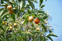 枝头上的柿子果实