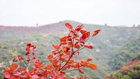 红色的树叶摄影图