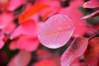 红色树叶高清特写
