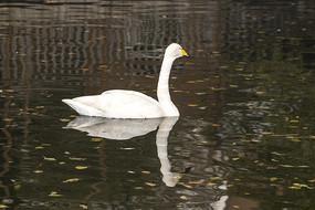 戏水的天鹅