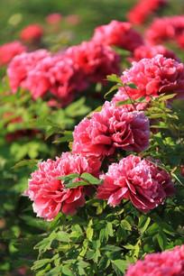 阳光下的粉红牡丹