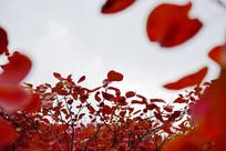 长寿山红叶高清图片