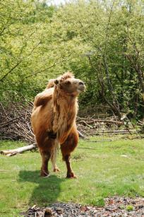 动物园里的骆驼